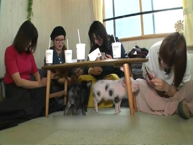 'Kedi Kafelerden' Sonra Yeni Moda 'Domuz Kafe': Japonlar Domuz Severek Rahatlıyor